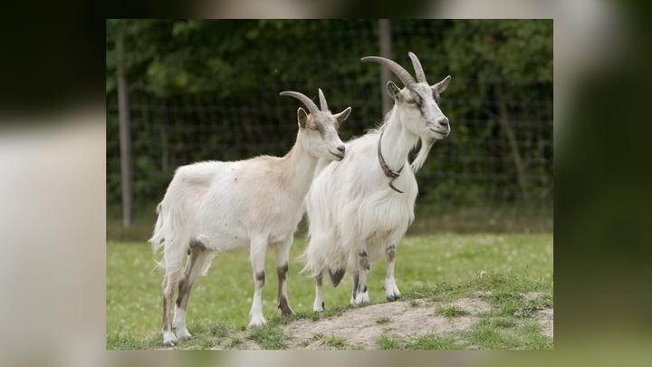 Учёные обратили внимание на известную способность коз и овец переваривать различные несъедобные материалы