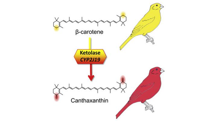 Ген CYP2J19 становится активным в тех частях тела, где появляется красный пигмент.