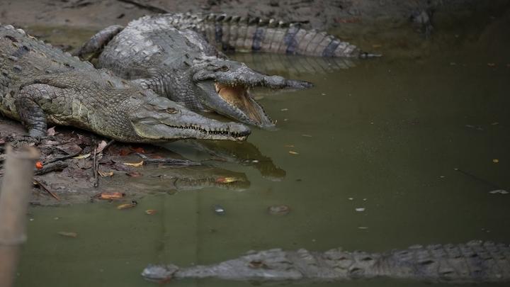 Исследование показало, что аллигатор, который невольно охраняет птиц, гораздо упитаннее своих сородичей, у которых нет пернатых соседей