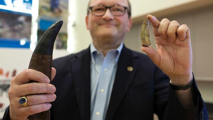 Ганс Зус, глава факультета палеобиологии Смитсоновского университета, сравнивает зуб T. euotica (справа) с гораздо большим зубом тираннозавра (слева, представлен гипсовым макетом)
