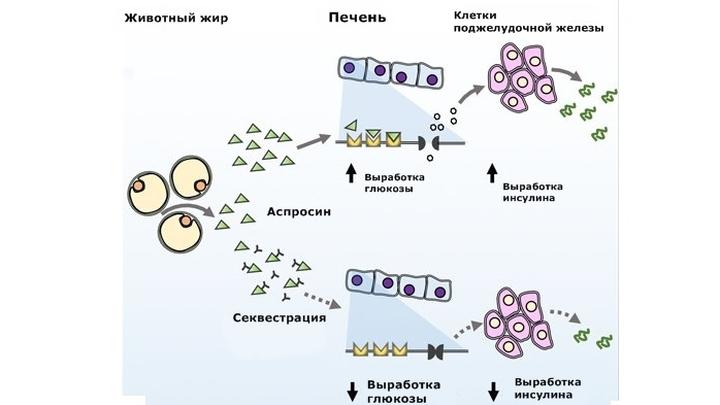 Аспросин √ это недавно обнаруженный гормон, который выделяется жировой тканью