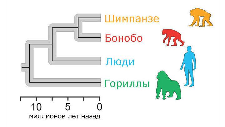Эволюционное древо гоминид, построенное на основе археологических находок и генетических данных.