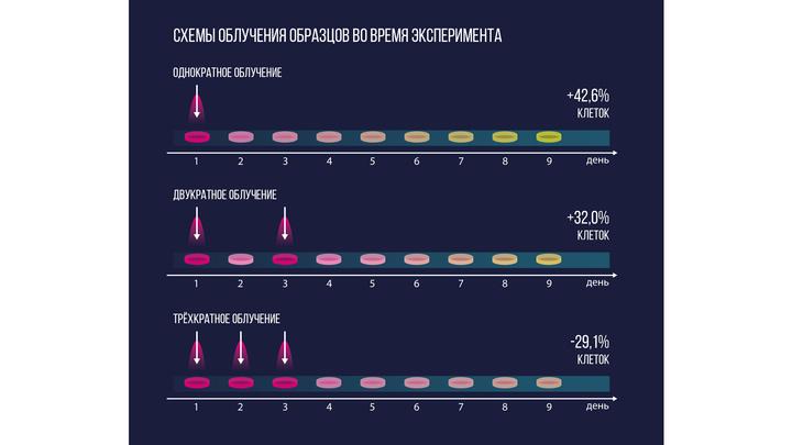 Схема эксперимента: одну группу клеток обрабатывали плазмой однократно (А), другая группа подвергалась двукратной обработке с интервалом 48 часов (В), третья группа √ трёхкратной обработке с интервалом 24 часа (С).