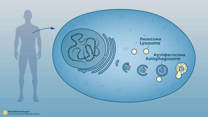 """Органелла (составляющая клетки) аутофагосома поглощает компоненты клетки и затем отдаёт их на """"съедение"""" лизосоме, в которой происходит их разрушение."""