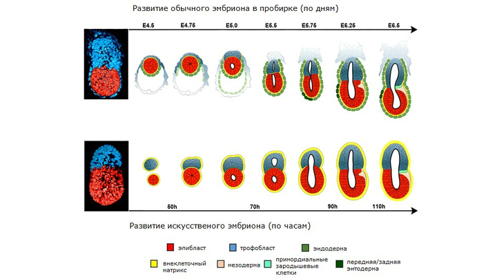 Этапы развития эмбрионов: обычного и искусственно созданного.