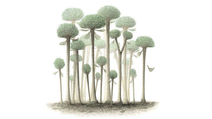 Деревья класса кладоксилеевые.