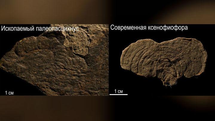 Древние палеопасцихниды весьма напоминают современных одноклеточных ксенофиофор. Не исключено, что они даже приходятся им родственниками.
