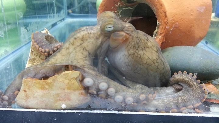 Самка калифорнийского двупятнистого осьминога в лаборатории учёных.