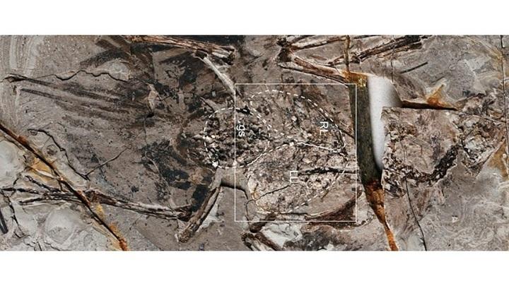 Окаменелые останки Archaeorhynchus spathula.