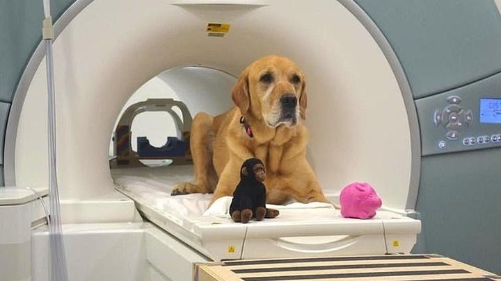 Участник исследования по кличке Эдди со своими игрушками в сканере фМРТ.