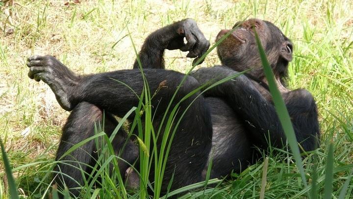 Посетители зоопарков копируют движения и жесты шимпанзе так же часто, как обезьяны пародируют людей.