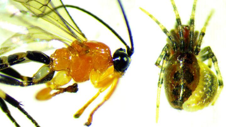 Взрослая стадия паразитической осы рода Zatypota (слева) и личинка осы, прикреплённая к брюшку паука вида Anelosimus eximius (справа).