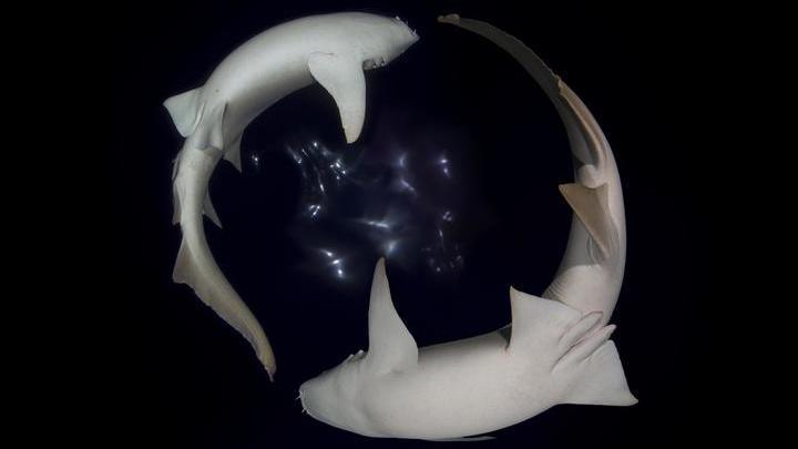 Японские специалисты подробно изучили эмбриональный каннибализм у акул.