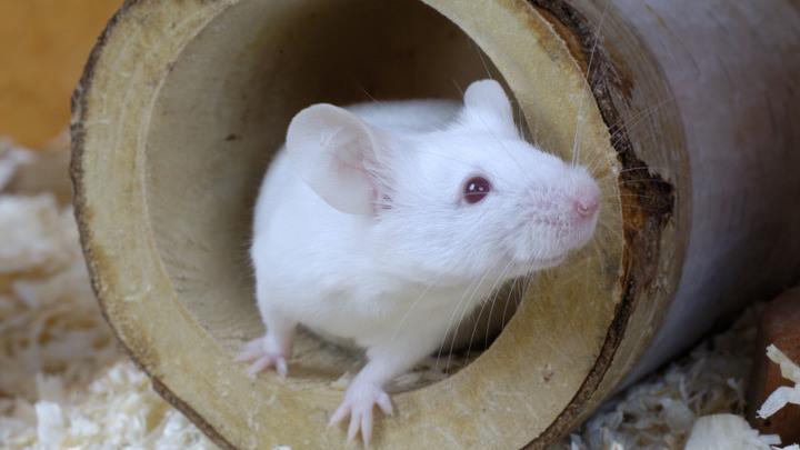 Исследователи использовали инструмент CRISPR, чтобы контролировать наследование генов у мышей.