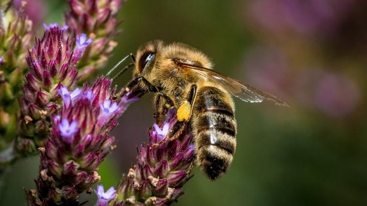 Специалисты изучили две природные жидкости, которые повышают производительность пчелиного труда.