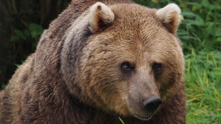 В слюне сибирского бурого медведя найден очередной перспективный антибиотик.