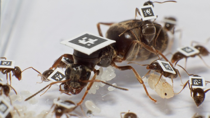 """Инфицированные муравьи """"берут больничный"""", чтобы не заражать других членов колонии"""
