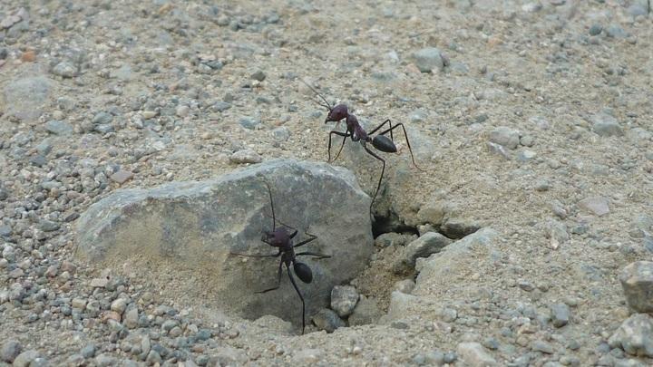 Пустынные муравьи калибруют навигационную систему по геомагнитному полю Земли