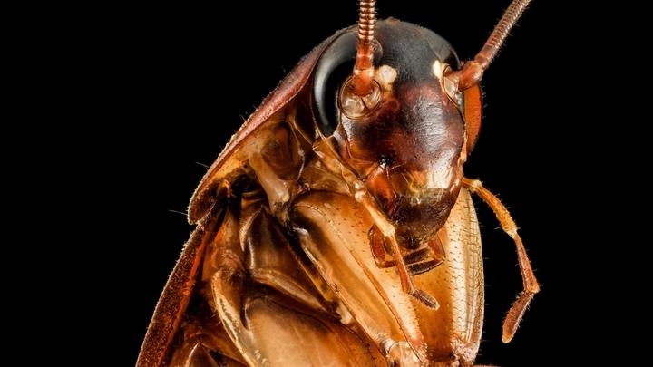 Американский таракан √ вид космополитический; его представителей можно встретить в разных частях света. Живёт как в зданиях, так и дикой природе.