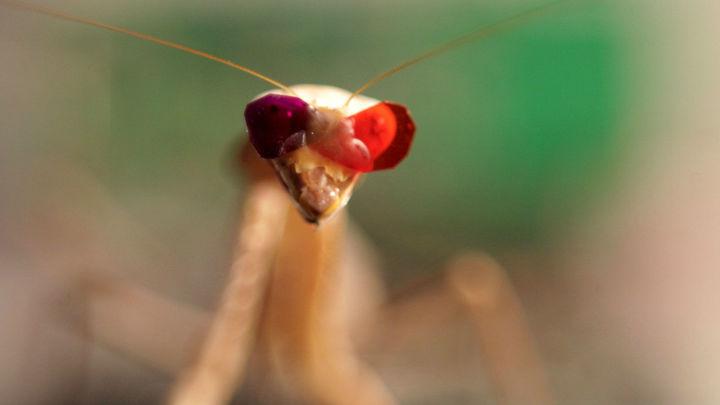 Очки для богомола: открытые особенности зрения насекомого удивили учёных