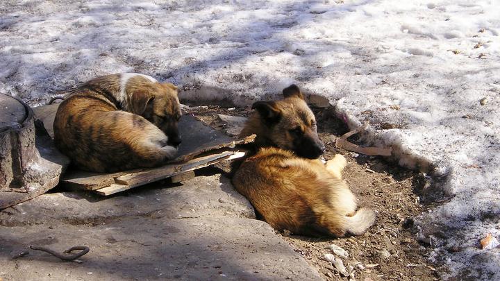 Шестилетнюю девочку в амурском поселке чуть не загрызла собака: СК проводит проверку