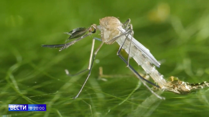 Голодные и очень злые: агрессивные комары атаковали москвичей