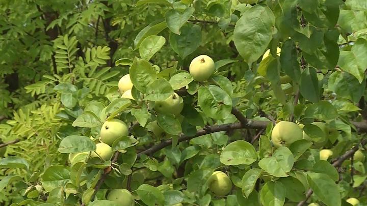 Яблоки Урожай яблоневый сад