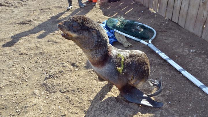 Волонтеры освободили 28 запутавшихся морских котиков на острове Тюлений