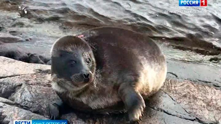 После двух недель свободного плавания тюлень Шлиссик захотел вернуться к людям