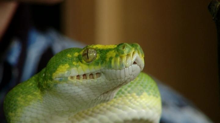 В России научились подавлять COVID-19 с помощью змеиного яда