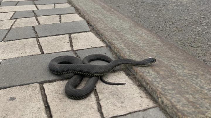 Борьба с крысами: в жилом доме в Новокуйбышевске завелись змеи