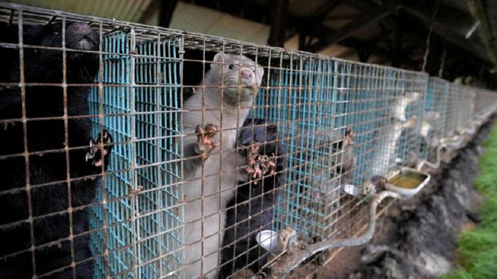 Минздрав Ирландии рекомендовал фермерам уничтожить популяцию норок