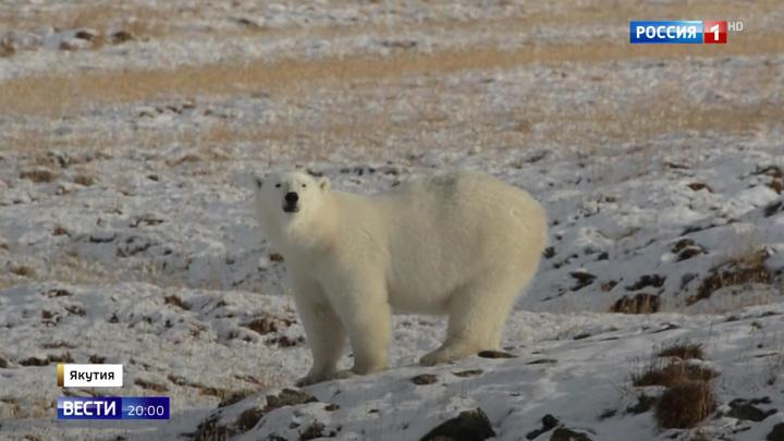 Как спасти жизнь, притворившись мертвым: руководство по белым медведям