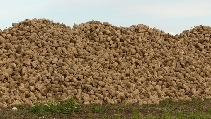 Более миллиона тонн сахарной свеклы собрано на Алтае