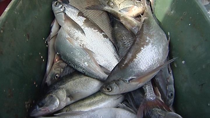 Россия и Литва согласовали лимиты улова рыбы в Куршском заливе на 2021 год
