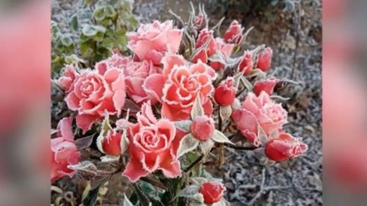 Донские пользователи делятся в Сети фотографиями покрытых инеем роз