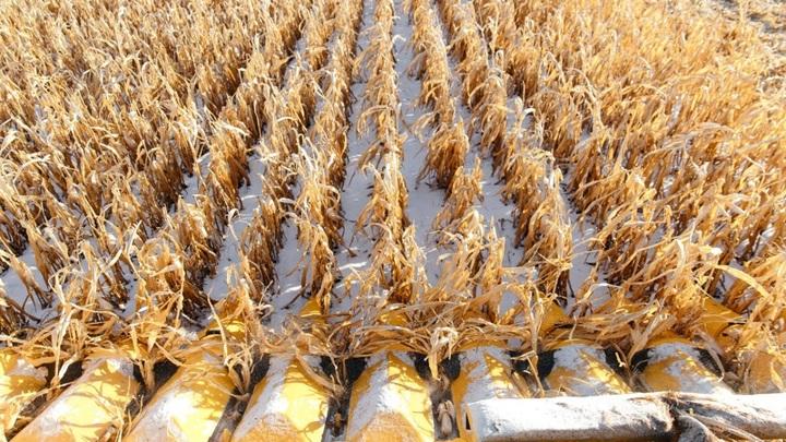 В Оренбуржье прошла первая в мире уборка урожая беспилотным комбайном
