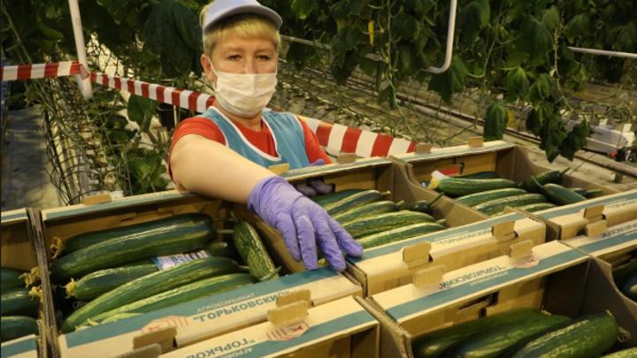 В Нижегородской области запустили производство огурцов по технологии светокультуры