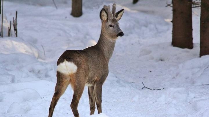 Двух браконьеров наказали за убийство косуль в Новосибирской области