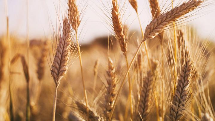 Россия сохранит лидерство в мире по экспорту пшеницы