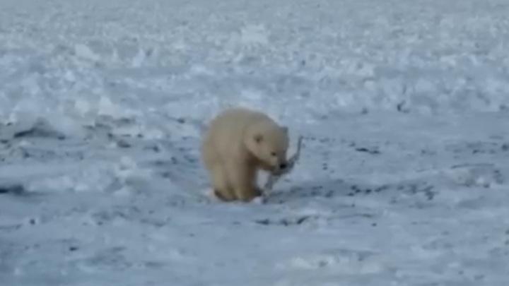 На Чукотке взрослые сородичи забрали с собой медвежонка-потеряшку