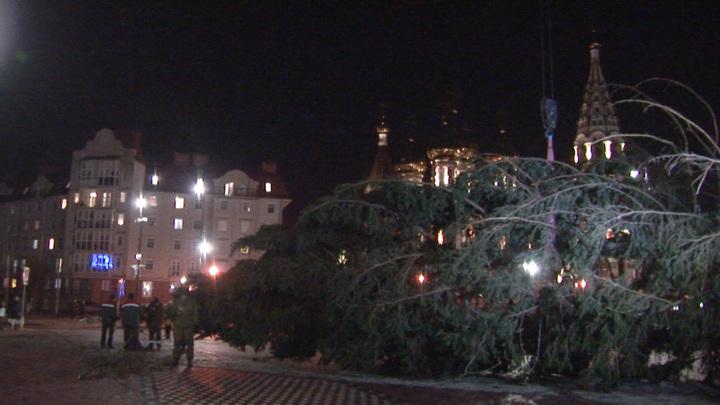 Новогодняя ель в Янтарном крае претендует на звание самой высокой в стране