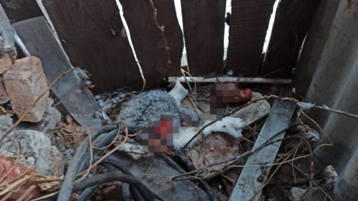 Покрепче запирайте сараи: в Сызрани ищут чупакабру, устроившую кровавую бойню