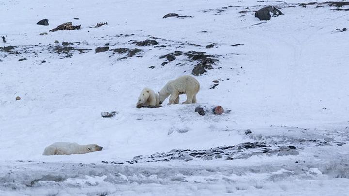 Тридцать белых медведей собрались возле села Рыркайпий на Чукотке