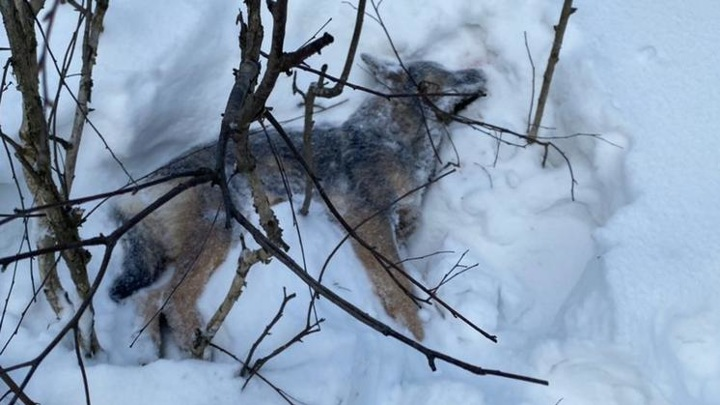 Полиция начала проверку из-за массовой гибели собак под Новосибирском