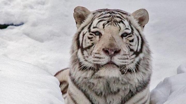 Фотографии редких белых тигров опубликовал новосибирский зоопарк