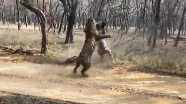 Схватка тигров в индийском национальном парке попала на видео
