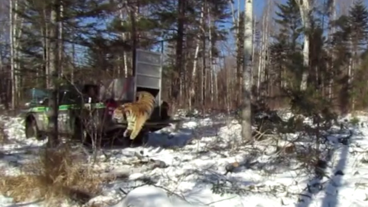 На свободу с воинственным рыком: охотившуюся на собак тигрицу отпустили на волю