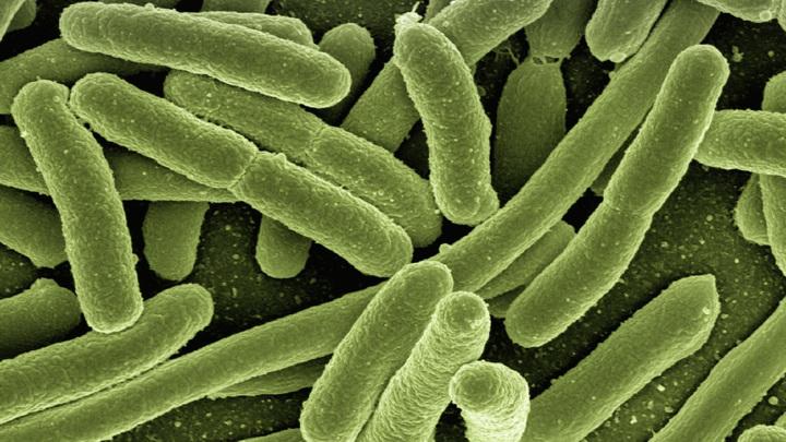 Бактерии E. coli (на иллюстрации) часто встречаются в кишечнике животных и людей. Некоторые из множества их штаммов могут быть причиной болезней.
