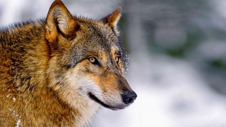 Численность волков в Архангельской области находится под контролем специалистов